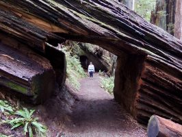 """""""Ambassadors from Another Time"""" in Redwood National and State Parks"""
