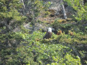 Bald eagle in nest along Lynn Canal