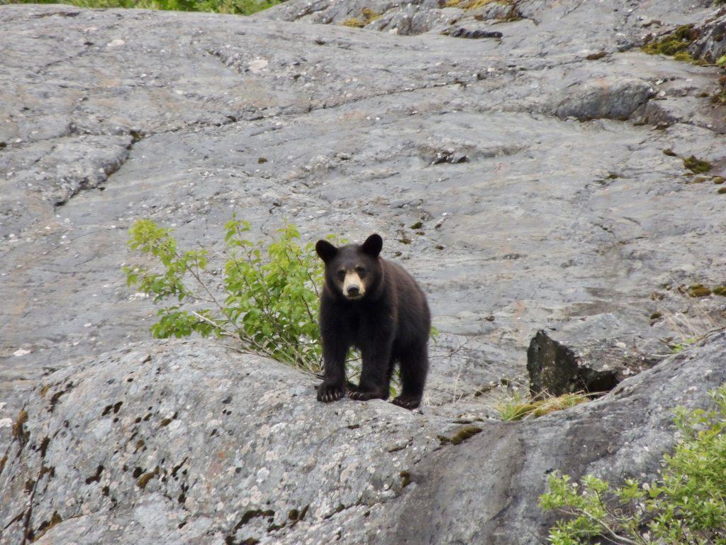 Black bear on Portage Lake