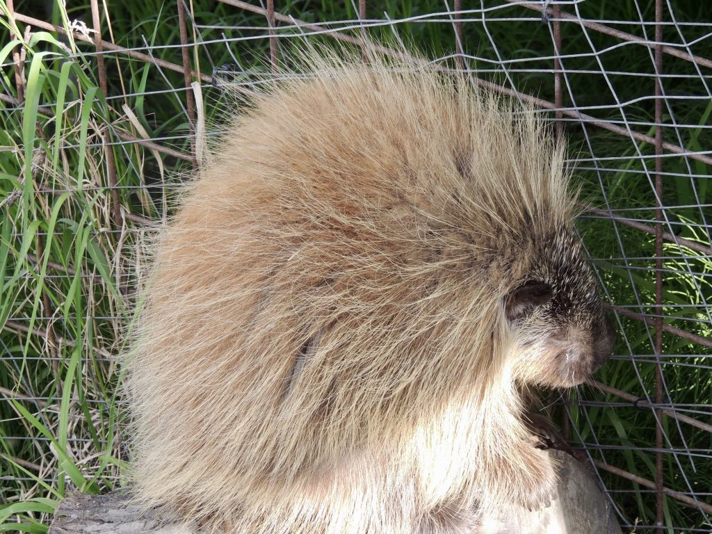Snickers the porcupine