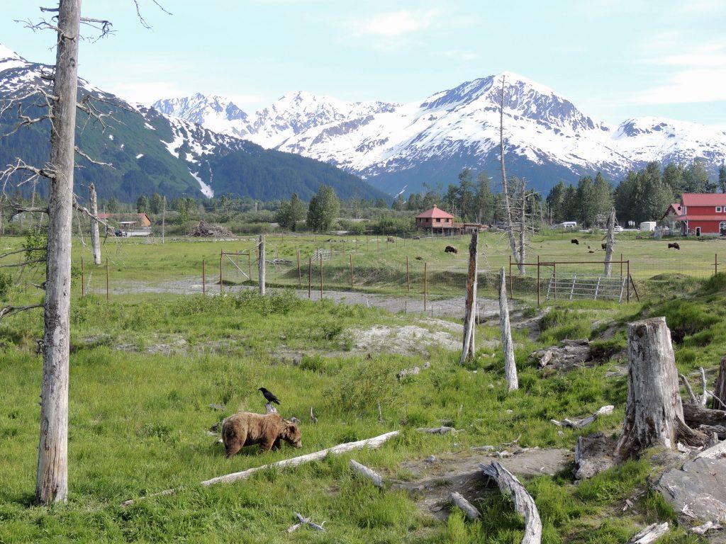 Bear habitat at AWCC